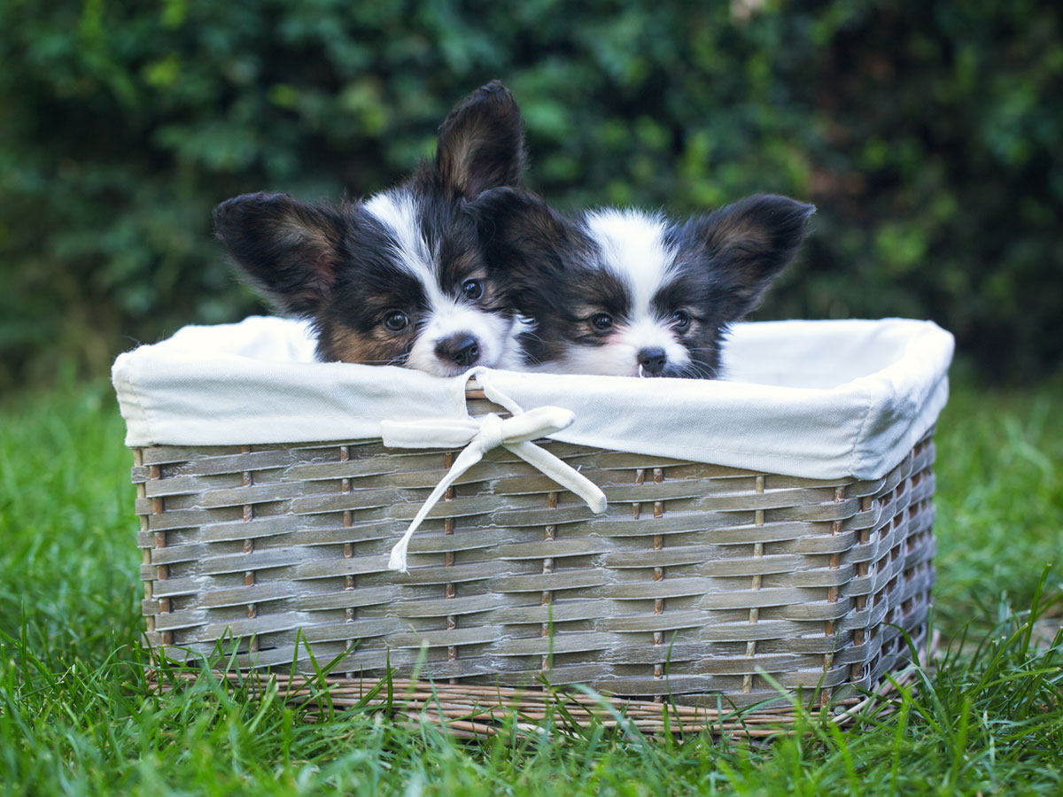 beautiful-puppies-papillon-breed